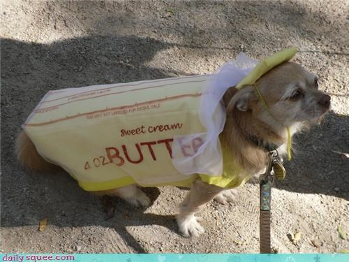 chihuahua,costume,dogs