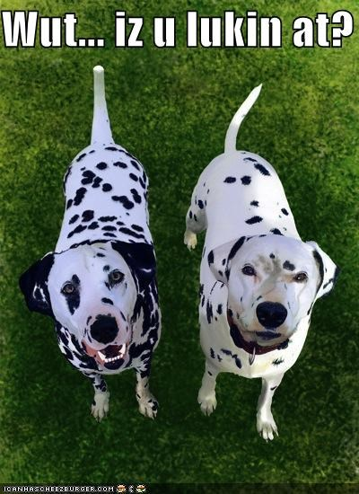 brothers dalmatian death glare question Staring themed goggie week two what are you looking at what - 4114934784