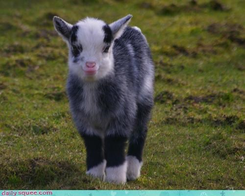 acting like animals adorable baby calf cute cuter than you goat metabolism prank squee your argument is invalid - 4115916032