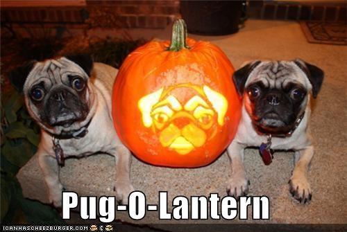 cute halloween howl-o-ween pug pug-o-lantern pugs pumpkins - 4116945920