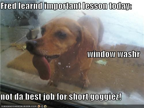 dachshund job lick tongue tongue out window washer