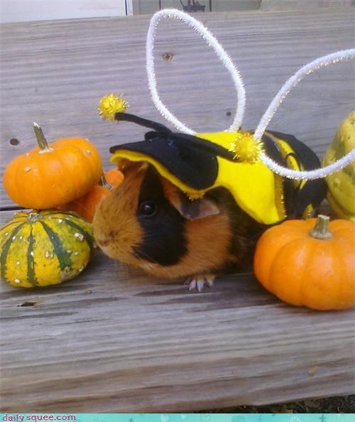 costume guinea pig GuineaPigsWithHats.com halloween - 4118314752