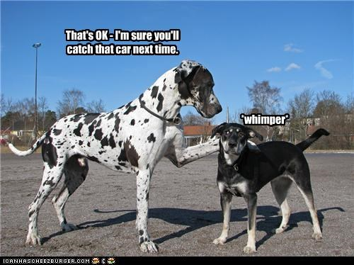 car,catching,comforting,consoling,dalmatian,FAIL,its-okay,next time,whatbreed,whimper