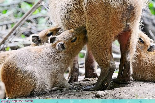 capybara nerd jokes squee spree - 4124456448
