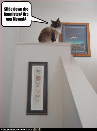 bad idea,bannister,caption,captioned,cat,himalayan,mental,question,sarcasm,slide,stupid