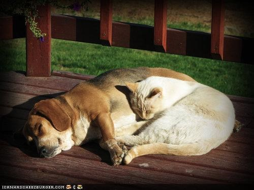 basset hound cat equation friendship happy kittehs r owr friends sleeping snuggles sunlight - 4126157312
