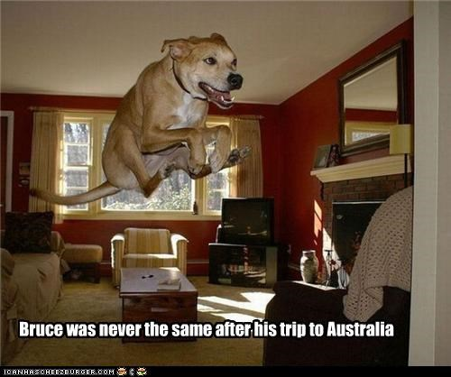 after,anatolian shepherd,australia,changed,Hall of Fame,imitation,kangaroo,never the same,trip