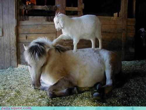 acting like animals are you awake awakening baby bothering goat Hey horse interspecies friendship joke rude