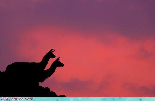 acting like animals beautiful darkness forbidden llama llamas love machu picchu pretty silhouette - 4127585792