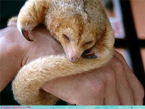 anteater,silky anteater,whatsit wednesday