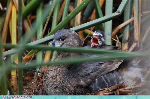 baby duck duckling - 4130580736