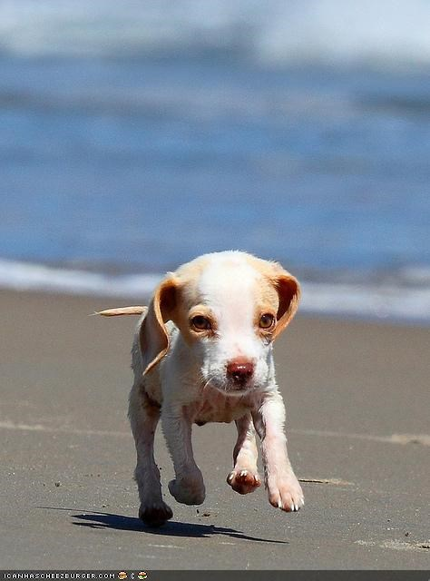 awesome beach beagle cute cyoot puppeh ob teh day puppy running wind - 4130703872