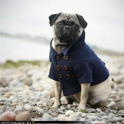 dress up fashion haute couture High Fashion outfits peacoat pug sheltie style terrier tie trenchcoat weird