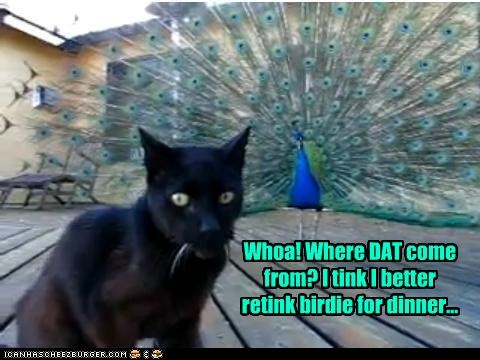bird caption captioned cat dinner peacock plans rethinking scared surprised thinking - 4133262592