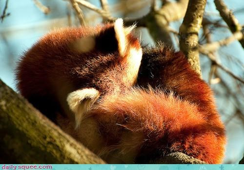 acting like animals cute FRIDAY nap nap time question red panda ritual routine saturday sleeping time - 4134185984