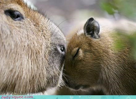 baby capybara kisses mommy rodent squee whiskers - 4134735104