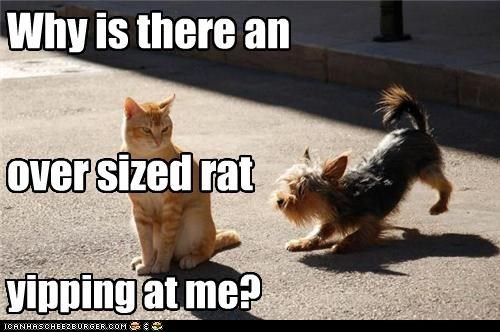 Why is there an over sized rat yipping at me?