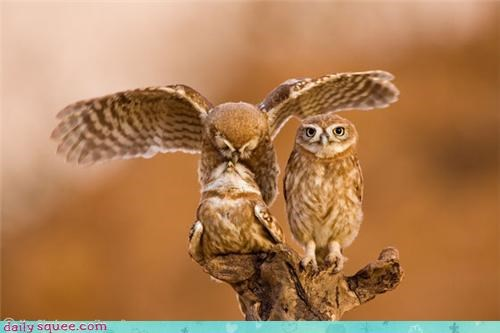 birds owls oblivious three squee