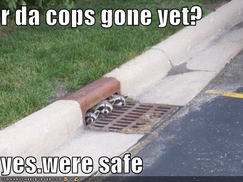 answer,caption,captioned,cops,duct,grate,hiding,question,raccoon,raccoons,safe,sewer