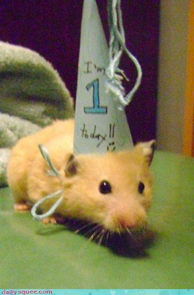 birthday,hamster,hat,pet,squee,squee spree