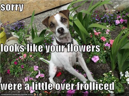 accident,flowers,frolicked,jack russell terrier,mistake,overdone,ruined,sorry