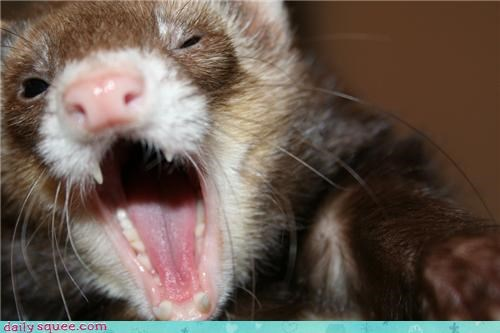 baby,ferret,user pet