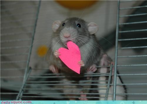cute pet rat - 4144357120