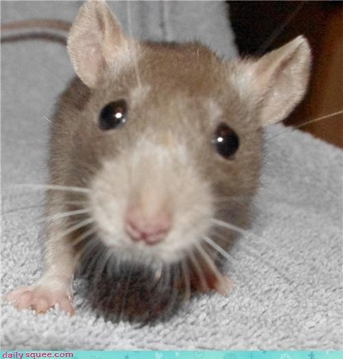cute,face,rat