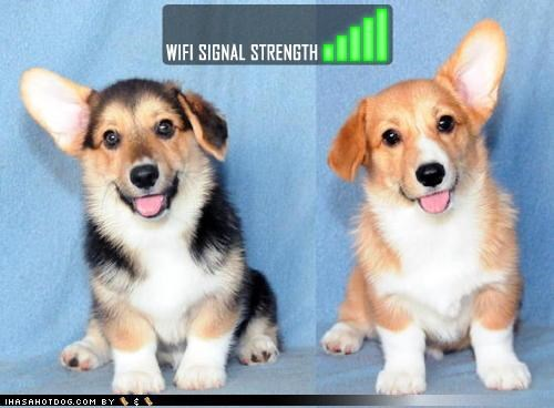 antenna corgi cute ears Hall of Fame perfect reception signal strength wifi - 4146839040