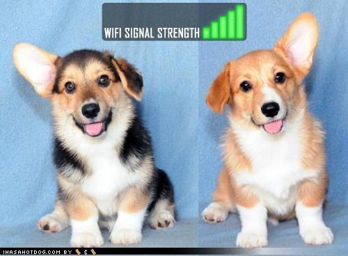 antenna corgi cute ears Hall of Fame perfect reception signal strength wifi - 4146839040