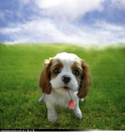 cavalier king charles spaniel cute exchange Flower Hall of Fame noms puppy puppy eyes themed goggie week winner - 4146939136