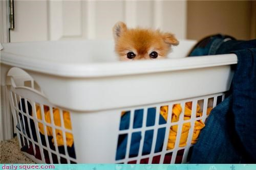 cute dogs pom pomeranian userpets - 4148318720