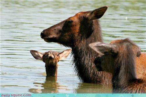 baby,baby elk,cute,elk,mama
