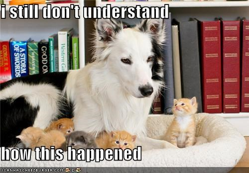 bed,border collie,confusion,dont-understand,happened,how,kitten