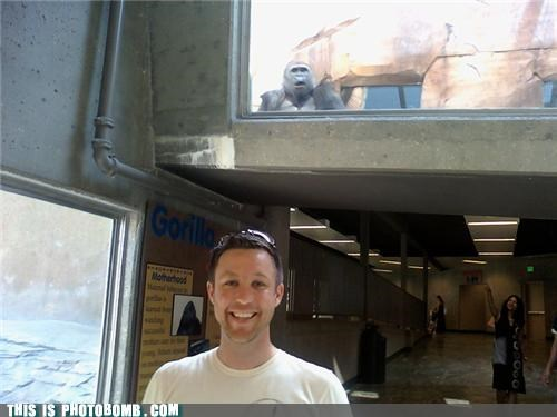 Animal Bomb,animals,awesome,gorilla,moment of realization,photobomb,Planet of the Apes