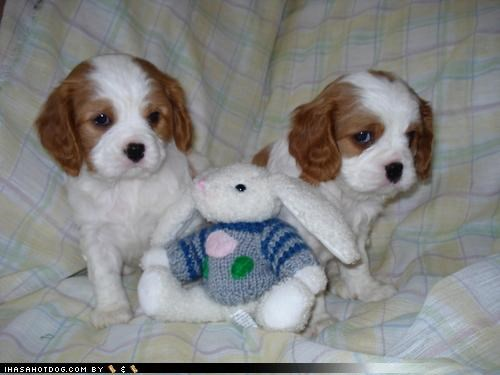 bunny,cavalier king charles spaniel,comparison,puppies,puppy,puppy eyes,stuffed animal,themed goggie week,two