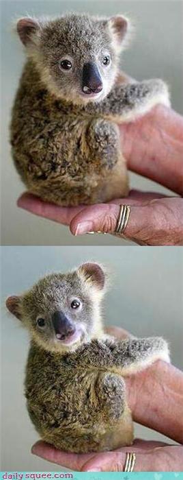 baby face koala tiny - 4150599168
