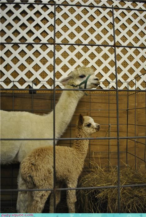 alpaca baby cute - 4151492352