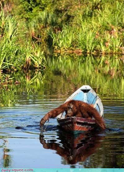 acting like animals afraid boat fear orangutan swimming - 4151700992