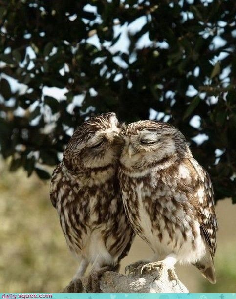 acting like animals,annoyed,cute,love,meme,nuzzling,o rly,Owl,owls,question,response,two,yes