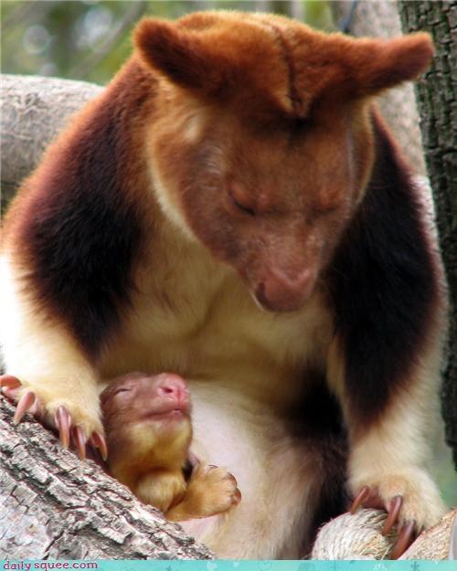 baby,squee spree,tree kangaroo