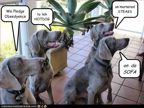 anticipation,excited,four,hotdog,marinated,obedience,pledge,pleding,sofa,steaks,vows,weimaraner