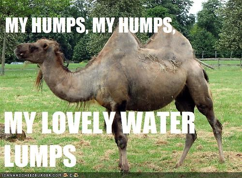 black-eyed peas,camel,hump,pun,song