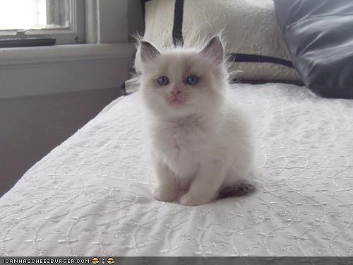 camouflage cyoot kitteh of teh day Fluffy kitten squee white - 4153867520