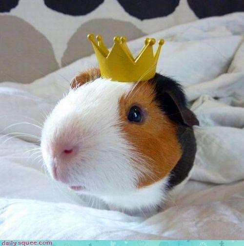 GPig guinea pig GuineaPigsWithHats.com hat - 4154985728