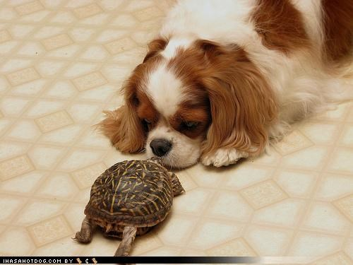 cavalier king charles spaniel confused curious question shell Staring staring contest themed goggie week turtle what are you