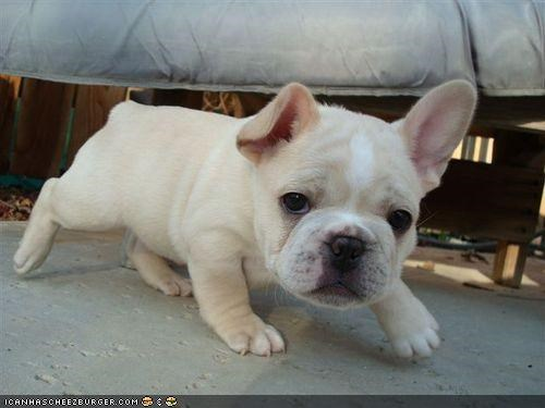creeping cute cyoot puppeh ob teh day french bulldogs puppy quiet sneaking stepping - 4157569280