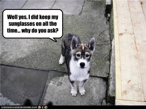 confused husky mixed breed puppy question sunglasses tan lines yes - 4159365376