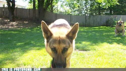 animals,dogs,german shepherd,photobomb,pooping