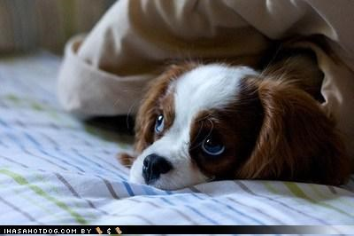 cavalier king charles spaniel,covered up,covers,puppy,puppy eyes,question,Sad,Sundog,waiting,yet